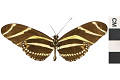 View Zebra Longwing, Zebra Longwing, Longwing digital asset number 0