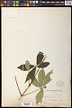 View Aesculus parviflora Walter digital asset number 0