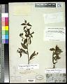 View Ludwigia quadrangularis (Micheli) H. Hara digital asset number 0