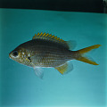 View Chromis xanthopterygia Randall & McCarthy digital asset number 0