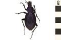View Huge Violet Ground Beetle digital asset number 0