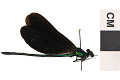 View Ebony Jewelwing, Damselfly digital asset number 0