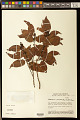 View Bredemeyera densiflora A.W. Benn. digital asset number 0