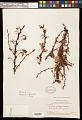 View Berberis rigidifolia Kunth digital asset number 0