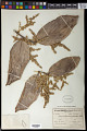 View Licania sclerophylla (Mart. ex Hook. f.) Fritsch digital asset number 0
