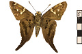 View Long-tailed Skipper digital asset number 1