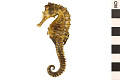 View Lined Seahorse, Atlantic Seahorse digital asset number 1