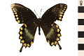 View Spicebush Swallowtail digital asset number 0