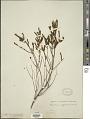 View Microlicia cryptandra Naudin digital asset number 1