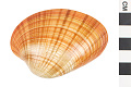 View Sunset Clam digital asset number 1