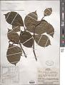 View Magnolia denudata var. purpurascens Rehder & E.H. Wilson in Sarg. digital asset number 1