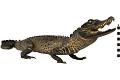 View Marsh Crocodile, Mugger Crocodile digital asset number 3