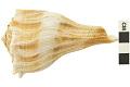 View Lightning Whelk, Lightening Whelk, Fossil shell digital asset number 3