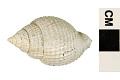 View Nutmeg Shell digital asset number 4