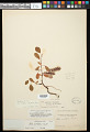 View Salix ovalifolia Trautv. digital asset number 0