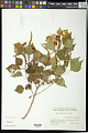 View Sapium sebiferum (L.) Roxb. digital asset number 0