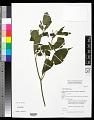 View Capsicum frutescens L. digital asset number 0