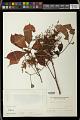 View Bischofia trifoliata digital asset number 0