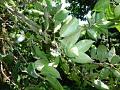 View Cassipourea guianensis Aubl. digital asset number 0