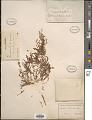 View Euphorbia polycarpa digital asset number 1