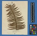 View Botanical Specimens From Quileute Indians digital asset number 33
