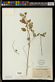 View Euphorbia elliptica Lam. digital asset number 0