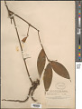 View Dracaena surculosa Lindl. digital asset number 1