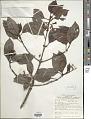 View Psychotria dolichosepala Merr. & L.M. Perry digital asset number 1