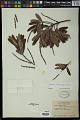 View Sapium haematospermum Müll. Arg. digital asset number 0