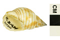 View Acorn Dog Whelk digital asset number 0