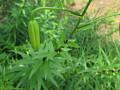 View Lilium lancifolium Thunb. digital asset number 0