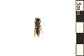 View Square-headed Wasp, Sand-loving Wasp digital asset number 0