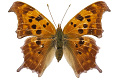 View Eastern Comma digital asset number 0