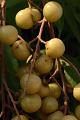 View Sapindus saponaria L. digital asset number 3