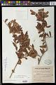 View Schinus longifolia (Lindl.) Speg. digital asset number 0