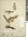 View Pleopeltis guttata (Maxon) E.G. Andrews & Windham digital asset number 1