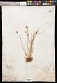 View Carex athrostachya var. minor ined. ? digital asset number 0