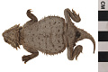 View Texas Horned Lizard digital asset number 4