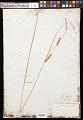 View Carex pellita Muhl. ex Willd. digital asset number 0