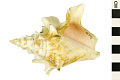 View West Indian Fighting Conch digital asset number 0