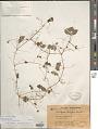 View Passiflora filipes Benth. digital asset number 1