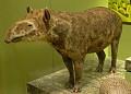 View Tapirus terrestris digital asset number 0