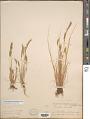 View Festuca octoflora var. glauca (Nutt.) Fernald digital asset number 1