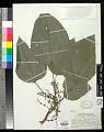 View Pipturus argenteus (G. Forst.) Wedd. digital asset number 0