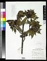 View Psychotria dienieusis Merr. & L.M. Perry digital asset number 0