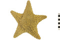 View Red Cushion Sea Star digital asset number 3