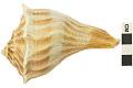 View Lightning Whelk, Lightening Whelk, Fossil shell digital asset number 1