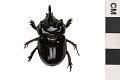 View Ox Beetle digital asset number 2