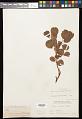 View Salix arctica var. obcordata (Andersson) Rydb. digital asset number 0