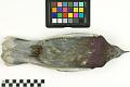 View Rock Pigeon, Common Pigeon, Rock Dove digital asset number 3